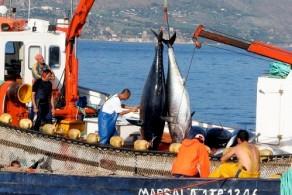 В мае на Сицилии открывается сезон ловли тунца, поэтому есть возможность полакомиться  свежевыловленной и недорогой рыбой
