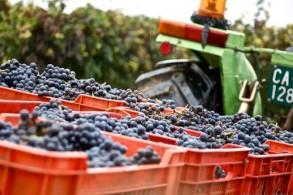 В сентябре по утрам в Пьемонте бывают сильные туманы, обеспечивающие высокую влажность, что идеально подходит для виноградной лозы