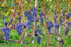 Виноград в Италии всегда был такого высокого качества, что его использовала для производства своих вин даже более развитая в этом отношении Греция